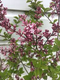 korean lilac syringa shrub pack of two