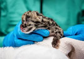 Pdza Zoo Lights by First Clouded Leopard Cub Produced With Cryopreserved Semen