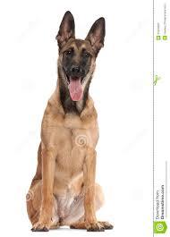 belgian sheepdog dog belgian shepherd dog puppy 5 months old stock photos image