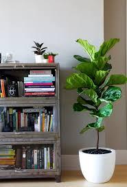 best low light indoor trees simple low light indoor trees by cebbfebc indoor fig trees low light