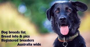 afghan hound breeders qld dog breeders australia dog breed list