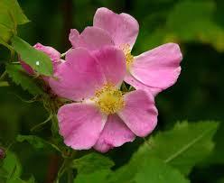 seattle native plants the wild garden hansen u0027s northwest native plant database