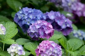 flower hydrangea file flower hydrangea flickr nekonomania 5 jpg wikimedia