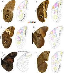 wing pattern diversity in brassolini butterflies nymphalidae