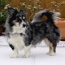 owning a australian shepherd corgi mini australian shepherd mix what a cute mix dogs