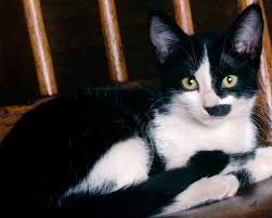 Cute Black And White Wallpapers by 1280x1024 Cute Black And White Cat Desktop Pc And Mac Wallpaper