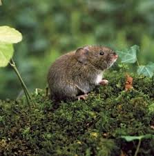How To Get Rid Of Moles In The Backyard by How To Get Rid Of Voles Veggie Gardner