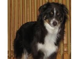 australian shepherd joliet lost pets near 60435 joliet il