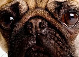 What Causes Dogs To Go Blind Dog Dry Eye Dry Eyes Treatments In Dogs Petmd