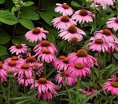 echinacea flower echinacea purpurea magnus white flower farm