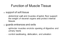 Muscles Of The Pelvic Floor Ppt by Muscular System Characteristics Of Muscle Tissue Excitability