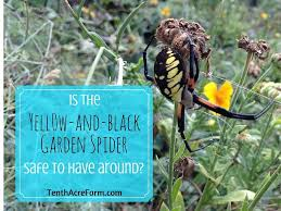 is the black and yellow garden spider safe to have around tenth