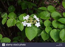 a very beutiful white flower from japan the name is olvon stock