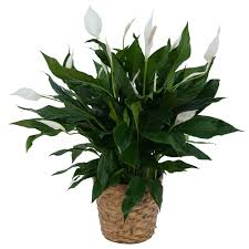 peace lilly peace plant in basket from seasons floral