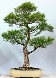 bonsai australian native plants bonsai society of victoria in australia melaleuca bracteata