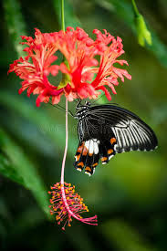 black tropical butterfly on hibiscus flower stock photo image of