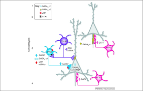 chandelier cells cortical parvalbumin interneurons and cognitive dysfunction in