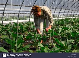greenhouse for vegetable garden female gardener at work in a greenhouse for egg plants stock photo