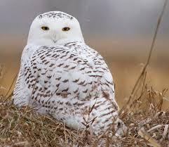 Where Does The Barn Owl Live Bird Cams Faq Barn Owl Nest All About Birds