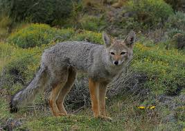 Can Coyotes See Red Light Has Anyone Ever Seen A Fox Coyote With A Ringed Tail Democratic