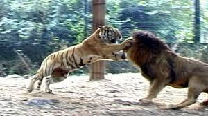 big vs big cats deadliest fights tiger jaguar cheetah lions