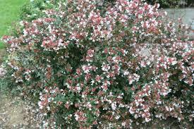 arbuste feuillage pourpre persistant le blog de leblanc jean claude la vie dans les jardins