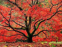 japanese maple tree live plant shipped 2