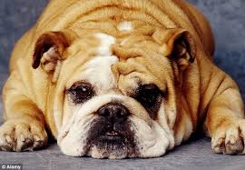 Dog Going Blind What To Do The Celebrity Owners Who Give Their Ugly Pugs A Facelift Daily