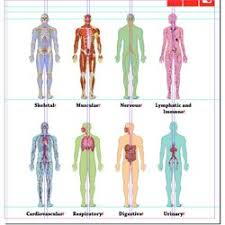 Human Anatomy And Body Systems Year 8 Body Systems Pearltrees