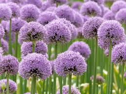 allium flowers purple allium flowers free photo on pixabay