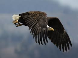 flying eagle hd wallpapers this wallpaper
