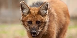 maned wolf smithsonian u0027s national zoo