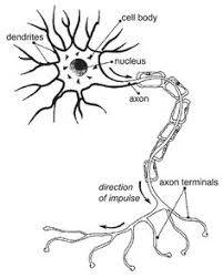 chandelier cells different types of neurons a purkinje cell b granule cell c