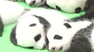adorable baby pandas cause chaos during first public appearance