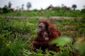 bentley orangutan nicole engberg esh360 blog humanities u0026 social sciences
