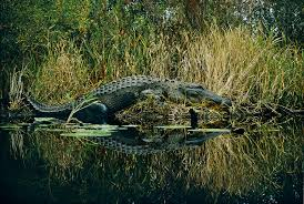 crocodile in the swamp wallpapers high quality download free