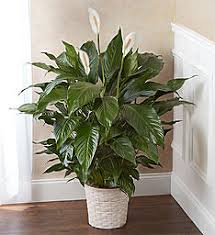 funeral plants funeral plants plants for a funeral 1800flowers