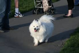 american eskimo dog japanese spitz difference the american eskimo dog breed small fluffy dog breeds
