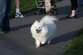 american eskimo dog intelligence the american eskimo dog breed small fluffy dog breeds