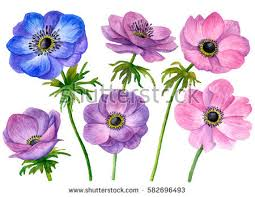 anemones flowers anemone flower stock images royalty free images vectors