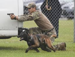 belgian malinois vest the surprising reason more police dogs are dying in the line of