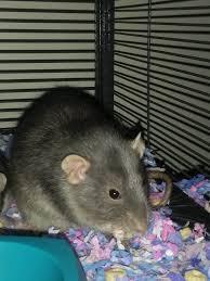 rat rats urinate u0026 normal