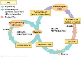 fungal life cycle biology ii pinterest physical science