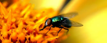 How To Get Rid Of Backyard Flies by How To Get Rid Of Flies Indoors Ehrlich Pest Control