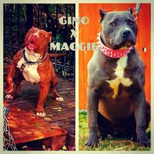 american pitbull terrier jumping best pitbull bloodlines different types of red u0026 blue nose pitbulls