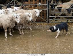 belgian shepherd herding sheepdog herding sheep stock photos u0026 sheepdog herding sheep stock