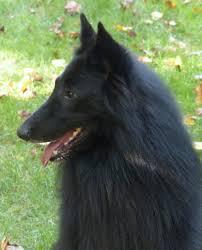 belgian shepherd kentucky litter plans u2013 blackforest belgian sheepdogs groenendael
