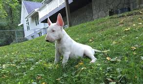 new bull terrier pups and n introduction strictly bull terriers
