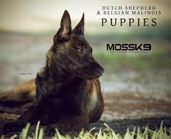 belgian sheepdog for sale uk belgian malinois dutch shepherd puppies for sale moss k9 moss k9