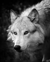 black and white wolf photograph by steve mckinzie